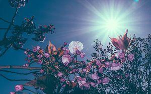 Roze kersenbloesem met een blauwe lucht en  voorjaarszon als achtergrond van Alex Hamstra