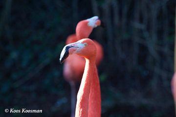 Flamingo Een Roze Vogel van Koos Koosman
