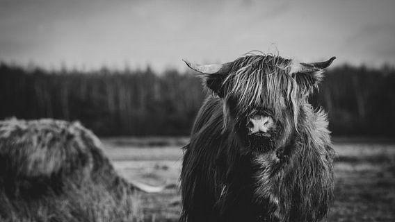 Close-up van een Schotse Hooglander Koe in Nederlandse weide in zwart-wit