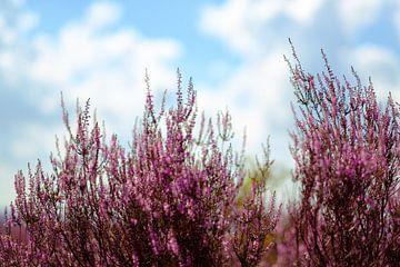 Blühendes Heidekraut von Arjen Roos