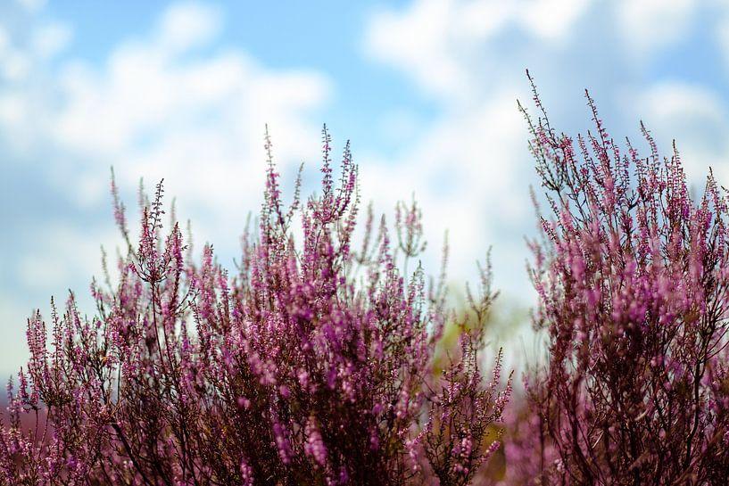 Zomerse bloeiende heide van Arjen Roos