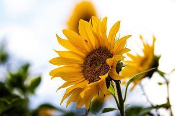 Zonnebloemen in de nazomer van henry hummel