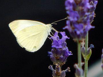 Schmetterling sitzt bequem auf dem Lavendel von Jake's shop