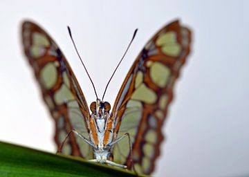 Butterfly van Corinne Alferink