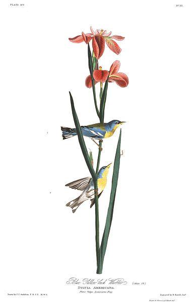 Brilparulazanger van Birds of America