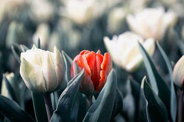 Tulpen, ein Außenseiter von Kristof Ven