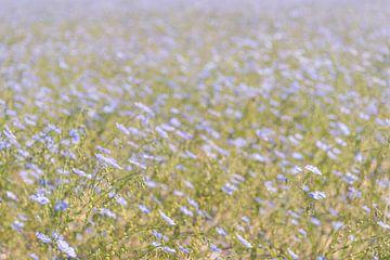 Lichtblauw bloeiend vlas van dichtbij van Ruud Morijn