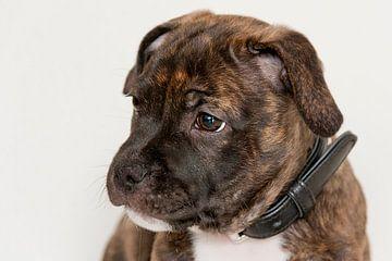 Puppy Pablo van Jeannet Bijlsma