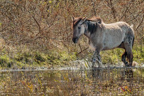 konikpaard door het water van