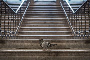 Steenduif op de trap van Elianne van Turennout