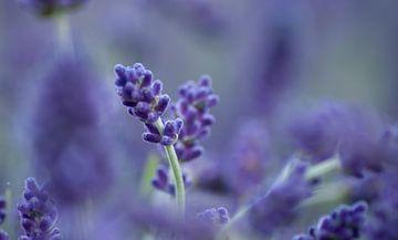 Lavendel  van Lonneke Klomp