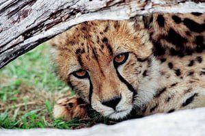 Cheeta welpje van