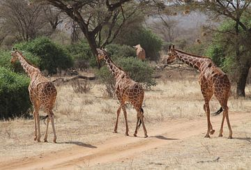 Giraffen in Kenia van