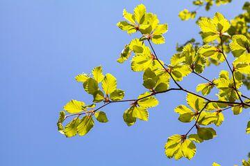 Bladeren tegen een blauwe lucht van Nel Diepstraten