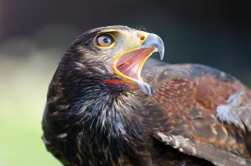 Roofvogel van Mark Bolijn