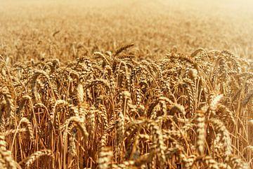 Getreide auf dem Feld an einem Sommertag von Bart Schmitz