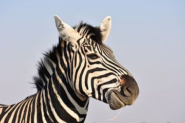 Zebra von Tim Reginald Velten