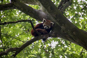 Rode Panda von Angelo de Bruin