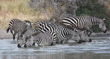 Op safari in Afrika: Groep zebra's  aan het drinken in een waterpoel van Koolspix