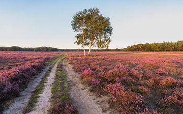 Blühende Westerheide mit einsamer Birke von Sander Groffen