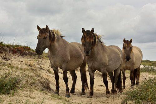 Konikpaarden op de Boschplaat - Terschelling van Peter Slagboom