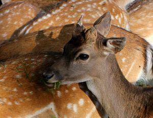 Deer van