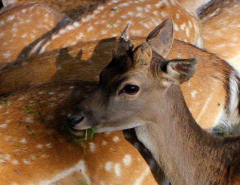 Deer van Anne Koop