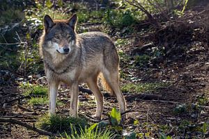 Wolf in donker bos