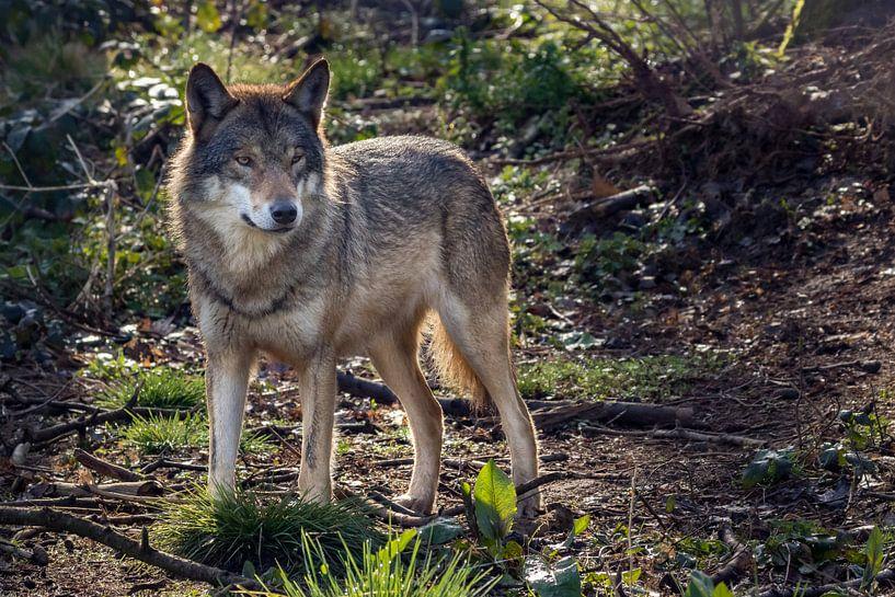 Wolf in donker bos van Fokko Erhart