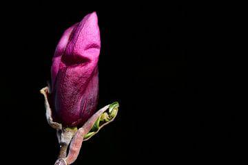 Bourgeon d'un magnolia sur fond noir