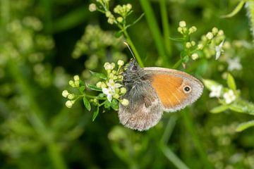 Schmetterling Kleines Ochsenauge von Hans-Jürgen Janda