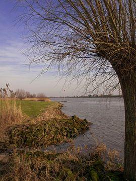Knotwilg langs de Lek bij Schoonhoven van Rinke Velds