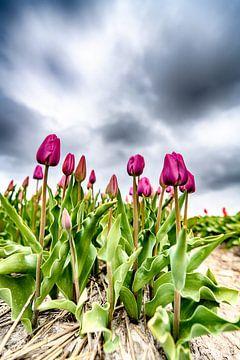 Paarse Tulpen 2020 A van Alex Hiemstra