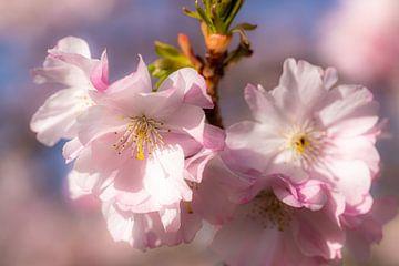 rosa Blüte der Kirsche als Makro mit Bokeh im Frühling von Dieter Walther