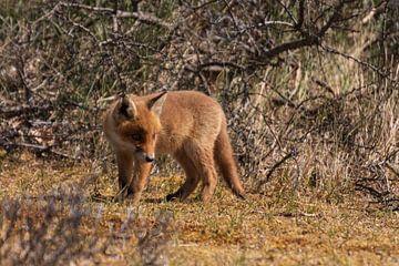 Junger Fuchs auf Entdeckungsreise von Mirjam Welleweerd