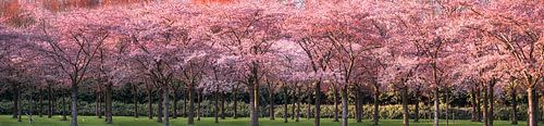 Avondzonlicht op de kersenboomgaard