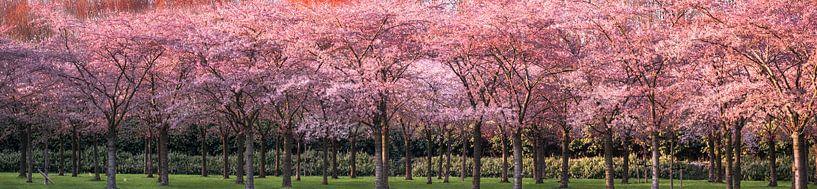 Avondzonlicht op de kersenboomgaard van Rietje Bulthuis