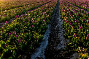 Paarse tulpen in het Bollenveld - Noordwijk Bollenstreek van Linsey Aandewiel-Marijnen
