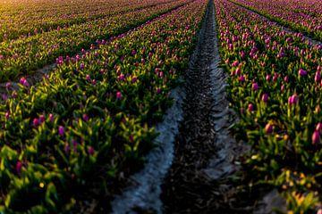 Lila Tulpen im Zwiebelfeld - Zwiebelregion Noordwijk von Linsey Aandewiel-Marijnen
