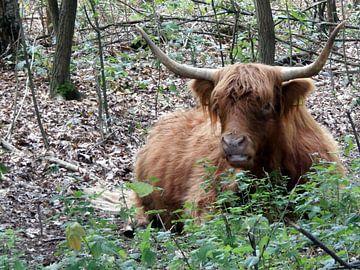 Schotse hooglander (koe) von richard de bruyn
