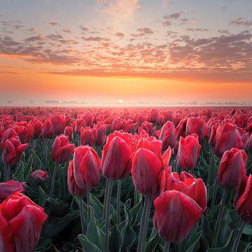 Rode tulpen van Nick de Jonge - Skeyes