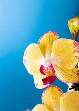 Zimmer Zimmerpflanze gelbe Orchidee von Iryna Melnyk