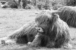 Schottischer Highlander im Gras liegend