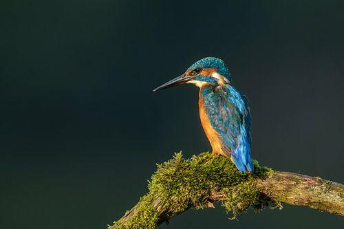 Kingfisher (Alcedo atthis) von