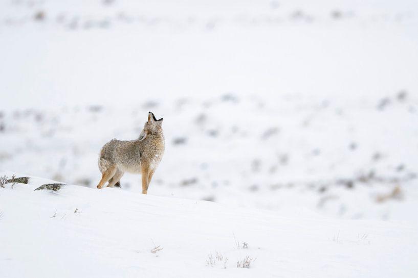 howling coyote in snow... Coyote *Canis latrans* van wunderbare Erde