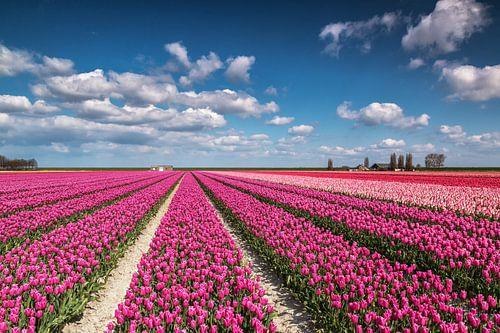 Kleurrijk tulpenveld van