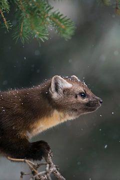 Marten / Pine Marten / Spruce Marten ( Martes americana ) met lichte sneeuwval, close-up, Yellowston van wunderbare Erde
