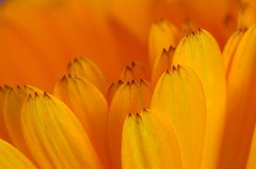 Goudsbloem  bloemen macrofotografie van