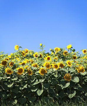Sonnenblumenfeld von Karina Baumgart