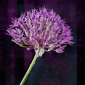 Sommerschönheit, Allium von Rietje Bulthuis